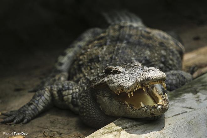 Cá sấu thảnh thơi nằm sưởi nắng.