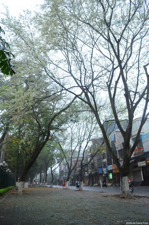 Tuy nhiên không vì thế mà hoa sưa năm nay mất đi vẻ đẹp tinh khiết vốn có. Những con đường nổi tiếng ngắm hoa sưa ở Hà Nội gồm Điện Biên Phủ, Hoàng Hoa Thám, Phan Đình Phùng, Thanh Niên, khu vực hồ Giảng Võ.