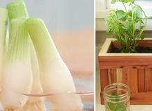 Cách trồng đủ loại rau tại nhà nhờ tận dụng rau củ thừa bỏ đi