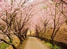 Đến du lịch Hàn Quốc dịp hoa anh đào nở