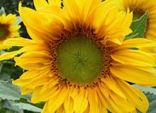 Mách bạn cách gieo hạt để có được cây hoa hướng dương tại nhà
