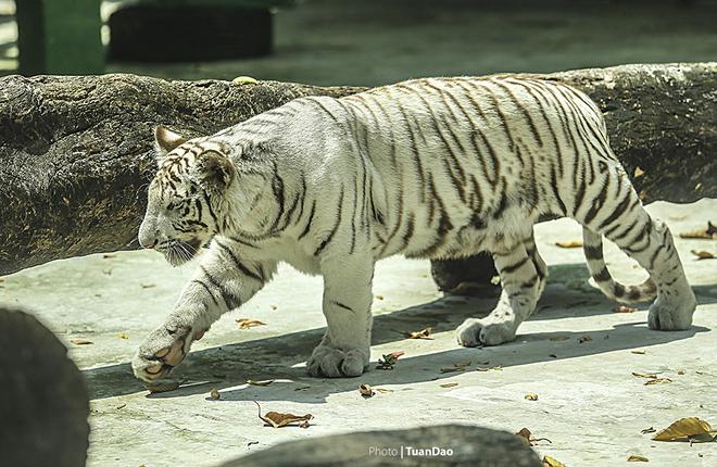 Giống hổ trắng Bengal quý hiếm, được nuôi dưỡng và nhân giống thành công tại vườn thú, là một điều khích lệ lớn đối với đội ngũ bác sĩ và người chăm sóc ở đây. Trước đó, Thảo cầm viên Sài Gòn đã nhân giống thành công cùng lúc 5 hổ Đông Dương.