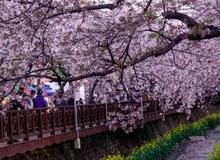 Cẩm nang cho mùa hoa anh đào năm 2016
