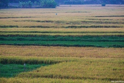 Cánh đồng lúa ở thành phố Tuy Hòa buổi sớm mai.