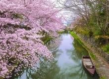 Du lịch Nhật Bản và Hàn Quốc chiêm ngưỡng sắc hoa anh đào rực rỡ