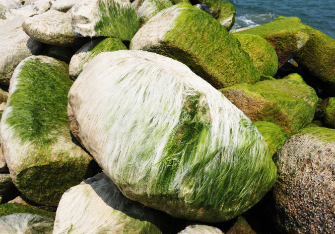 Lớp rêu khô tạo nên những mảng trắng óng ánh như tơ - Ảnh: Dương Thanh Xuân