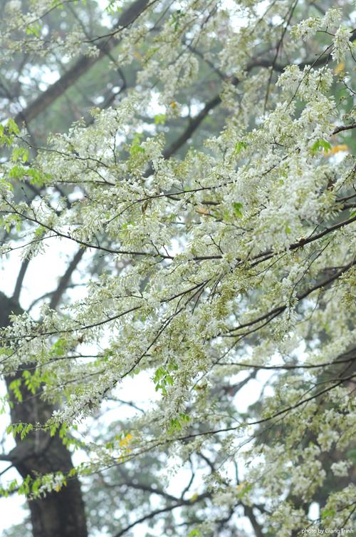 Hoa sưa mọc trên cao, trắng muốt từng chùm như những bông tuyết, đẹp dịu dàng mà nếu không để ý bạn sẽ rất dễ bỏ qua.