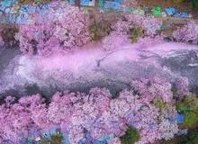 Đường hầm' hoa anh đào như mơ ở Nhật Bản