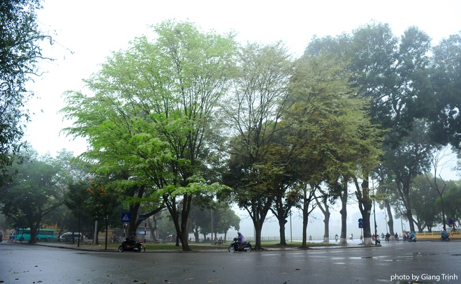 Hoa sưa cũng nhanh tàn nên có thể rụng hết chỉ sau một cơn mưa phùn.