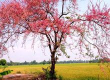 Tháng 3 về An Giang ngắm hoa ô môi khoe sắc