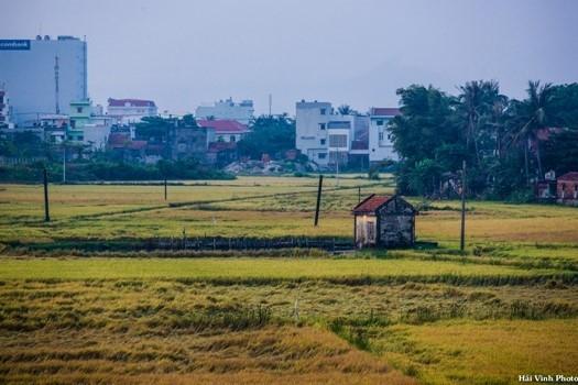 Cánh đồng lúa đang vào mùa gặt, xa xa là những ngôi nhà cao tầng hiện đại.