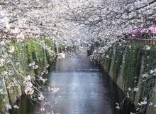 Những kinh nghiệm cần lưu ý khi đến Nhật Bản ngắm hoa anh đào