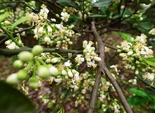 Mùa hoa bưởi tháng ba thơm ngát