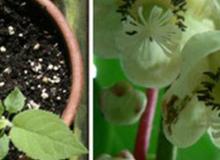 Cách trồng cây kiwi ra hoa ra quả từ hạt kiwi