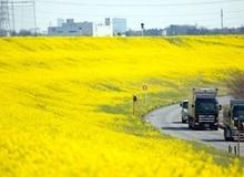 Mùa xuân hoa cải ở xứ sở mặt trời mọc