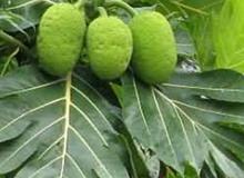Bài thuốc chữa tiểu đường từ lá cây sa kê