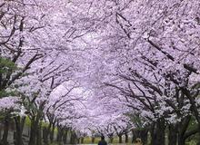 Thời điểm dự kiến hoa anh đào nở rộ ở Hàn Quốc