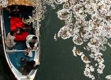 Ý nghĩa và vẻ đẹp sắc hoa anh đào Nhật Bản